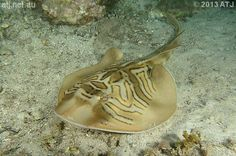 Eastern Fiddler Ray - Trygonorrhina fasciata - This stingray grows to 3.93' (1.2 m) in length and is of the family Rhinobatidae. It lives in shallow sandy bays and rocky reefs down to depths of about 393.7' (120 m) from southern Queensland to southern New South Wales (NSW)