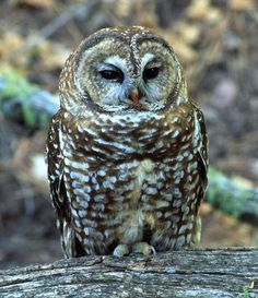 Mexican Spotted Owl (Strix occidentalis lucida). Photo by Toria Blank.