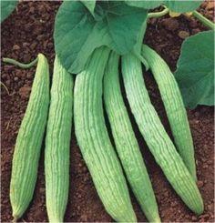Pistacia Vera, Pistachio Tree, Tree Seeds, Desert Plants, Fruit Trees, Spring Flowers, Cactus Plants, Food And Drink, Ebay