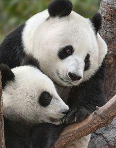 Mother-son panda bonding at the San Diego Zoo.