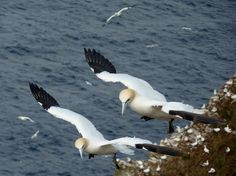 Gannets about to land on the cliffs at Troup Head the RSPB site on the Moray Firth near MacDuff. Photo taken on a day out from Bluefolds.