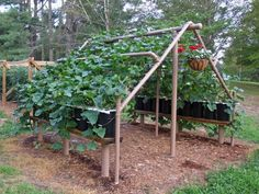 PVC pipe structure with potted plants (squash or cucumbers) growing on it. You can walk under to pick. Nothing on the ground to get buggy or fungus, and you control your soil. Brilliant!