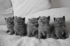 Adorable British Shorthair Kitties