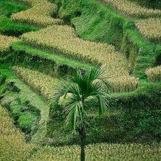Tree in rice fields in Bali