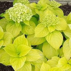 Hydrangea Lemon Daddy - 'Lemon Daddy' has shiny lemon-yellow foliage and large pink (or blue) mophead flowers. This strong-stemmed, vigorous grower performs well in hot, humid conditions, and will brighten up the shade garden even when not in bloom. Hortensia Hydrangea, Hydrangea Macrophylla, Hydrangea Garden, Garden Shrubs, Flowering Shrubs, Trees And Shrubs, Landscaping Plants, Shade Garden, Garden Plants