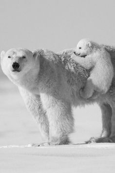 Two polar bears; a mom and her cub :)