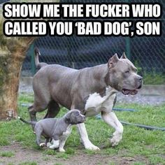 Do you love Pitbull? If yes read the types of Pitbull Breeds that are really popular right now. This list of Pitbull breed is very famous because of their extra ordinary characteristics Pit Bull Dogs, Funny Animal Pictures, Funny Animals, Cute Animals, Animals Dog, Dog Pictures, Funny Images, Bing Images, Beautiful Dogs