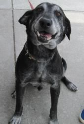 Dude is an adoptable Labrador Retriever Dog in Kennesaw, GA. HAPPY AND EASY GOING:  8 years old, 63 lbs.  This is Dude; He's a happy guy who loves people of all ages and gets along well with other dog...