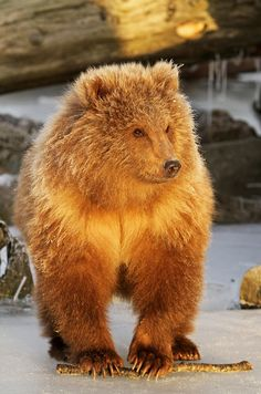 Why are bears so cute? I wish they weren't murderous
