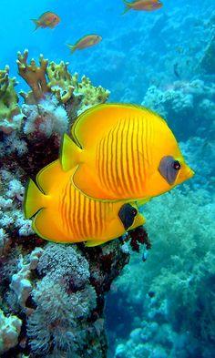 热带鱼 - Tropical Fish