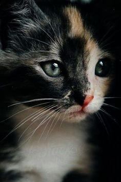 Stunning Calico Kitten - 20th June 2016 - We Love Cats and Kittens                                                                                                                                                                                 More #CatAndKittens