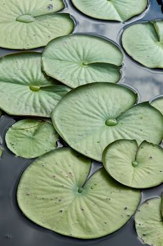 Lily Pads by Byron Jorjorian Pond Life, Water Lilies, Water Garden, Lotus Flower, Lotus Leaves, Greenery, Lily Pond, Aquatic Plants, Beautiful Flowers
