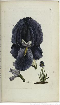 IRIS - Iris germanica. La flambe / L'hiris d'Allemagne / Le couteau / Le glayeul / Le glais