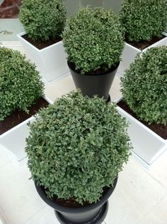 CHECKERED PLANTERS w/ Boxwood spheres.  RS McDANNELL  rsmcdannell.com