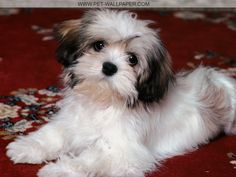 Havanese Puppies Pictures Funny Pet Wallpapers