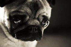 Pug + Sad