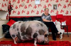 My micro pig became a macro pig! Piglet grows up to weigh 20 STONE after owner was duped by breeder      - Owners thought pet piglet wouldn't grow bigger than two stone     - Dudley is 5ft 8in from head to tail and is only three     - House trained pet enjoys watching TV and eating bananas