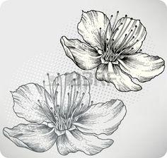 gravure fleur: Abricots fleurs, la main-dessin d'illustration
