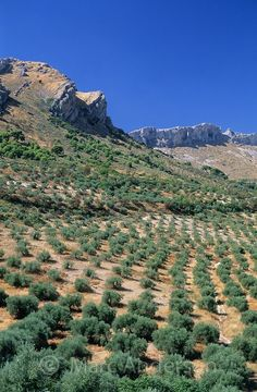 Rows of olive tree groves in the olive oil producing region of Jaen, Andalucia, Spain | Marc Anderson