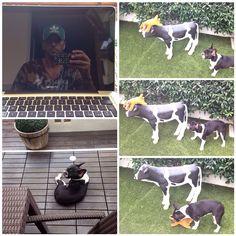 #CostantinoVitagliano Costantino Vitagliano: Buona Domenica pomeriggio a tutti... #costantinovitagliano #tac #bulldogfrancese #frenchbulldog #bouledogue #dog #love #vito #vitello #casavitagliano #macbook #apple #milanomarittima