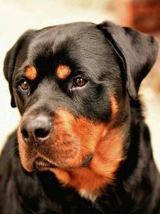 #Rottweilerwww.connoisseursloveofdogs.us