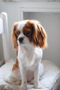 Cavalier King Charles Spaniel i saw this dog today i feel in love with it. i changed my mind i want this dog!!!!!! im in love.
