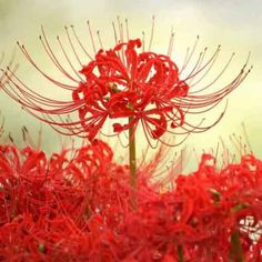 Tên khoa học của hoa bỉ ngạn là Lycoris radiata. Loài hoa này thường nở vào mùa xuân và có hai màu sắc là hoa bỉ ngạn trắng và hoa bỉ ngạn đỏ. Trong đó, hoa bỉ ngạn trắng hay còn có tên gọi là Mạn Đà La Hoa. Còn hoa bỉ ngạn đỏ có tên là Mạn Châu Sa Hoa, cái tên được dựa trên cố sự về mối tình trong truyền thuyết của hai yêu tinh kia. xem chi tiết bài viết : Plants, Plant, Planets