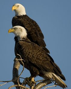 Two bald eagles sat on a branch