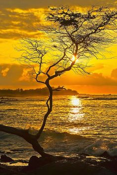 Sunset in Koa tree branch - Hawai