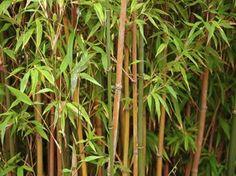 Bambus-Pflege für Ihren Garten