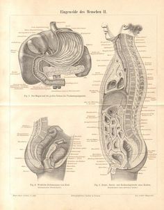 1890 Intestines Bowels of the Human Body Stomach Female