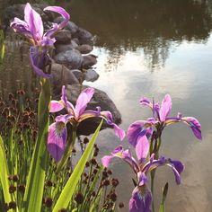 Wir wünschen Euch einen schönen und sonnigen Abend  Have a nice and sunny evening  #sonne #sun #water #wasser #flowers #lilie #lily #garden #garten #gartenteich #gardenpond #nofilter