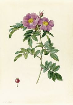 Pierre-Joseph Redouté (French, 1759-1840)  - Rosa Lucida.  Watercolour over pencil with touches of gum arabic on vellum, 38,8 x 27,2cm.