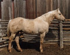 Skippa Oak, 1981 palomino stallion by Skippa Lark and out of the beautiful Skippers King daughter, Skips Orchid. Dam line: Mexicala Rose.