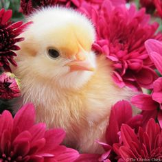 Autumn Chicks (warning: Danger of Cuteness Overload) -- Community Chickens Cute Chickens, Baby Chickens, Chickens And Roosters, Cute Funny Animals, Cute Baby Animals, Farm Animals, Animal Babies, Cute Ducklings, Chicken Pictures