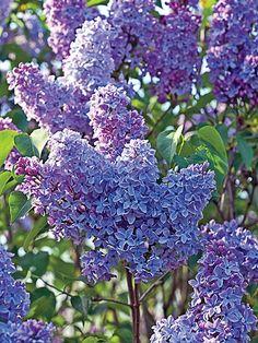 President Grevy Lilac Dutch Gardens, Syringa Vulgaris, Plant Lighting, Blue Plants, Potted Plants, Season Colors, Blue Flowers, Planting Plan, Shrubs