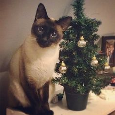This looks like my Brownie.. he was an applehead Seal Point Siamese. He was the best.