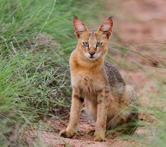 The jungle cat (Felis chaus) is a medium-sized cat native to Asia from southern China in the east through Southeast and Central Asia to the Nile Valley in the west. Chausie Cat, Wild Cat Species, Black Footed Cat, Domestic Cat Breeds, Small Wild Cats, Spotted Cat, Jungle Cat, Cats And Kittens, Big Cats