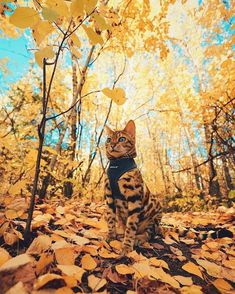 Every day is Caturday for Suki the Adventure Cat. Suki is a gorgeous Bengal kitty who loved to travel the equally gorgeous Canadian wilderness with her human, Martina Gutfreund, who has leash-trained. The Animals, Baby Animals, Cute Cats And Kittens, I Love Cats, Ragdoll Kittens, Tabby Cats, Funny Kittens, White Kittens, Blue Cats