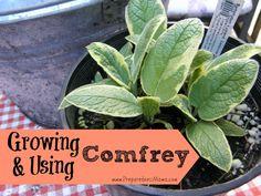 6 fantastic reasons for growing and using comfrey | PreparednessMama