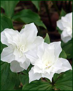 Trillium grandiflorum floro plenum (double trilliums from Hillside Nursery) Love Flowers, White Flowers, Beautiful Flowers, Woodland Flowers, Woodland Garden, Lady Slipper Orchid, White Plants, White Gardens, Clematis