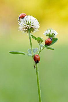 Lady Bug Trio on a Pretty Flower