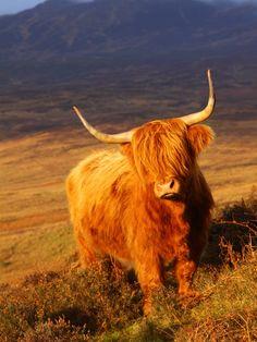 Love me some Scottish highlanders!!!