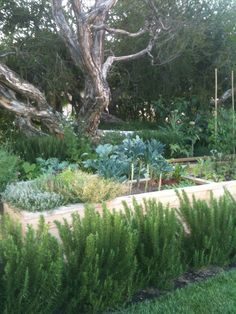 Knock-out vegetable garden on front lawn. Stay away Vegi-Burglars.