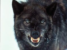 Snarling black wolf