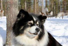 Finnish+Lapphund+called+Miisu+in+a+reindeer+farm+in+Pello+in+Lapland