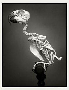 Mounted parrot skeleton-Perfect for my Pirates :-D