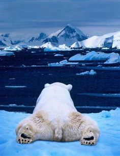 #Polar #bear chillin'   Found in @GuessQuest collection