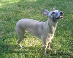 Whippet Dog Breed | Whippet Wallpapers, Pictures & Breed Information
