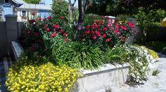 Roses, calilophus , and white verbena